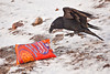 Raven approaching bag of Cheese Sticks on light snow. Ravens are wary of potential food, often doing things that might startle food that was still alive.