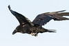 Raven, in flight, wings up, one wing tip out of frame, beak open, feet curled.
