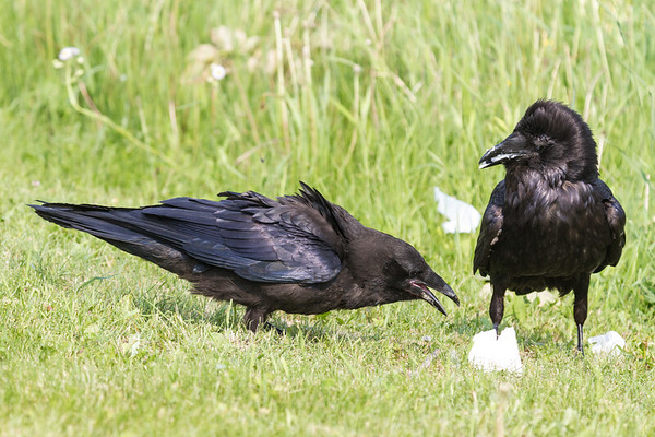 Juvenile raven at left trying to sneak some food from where adult is eating.