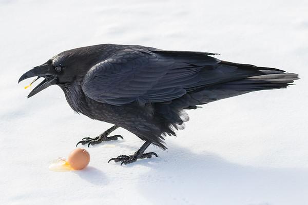 Raven enjoying an egg near the railway bridge over Store Creek. Note yolk on tongue.