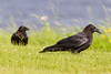 Two juvenile ravens on the grass.