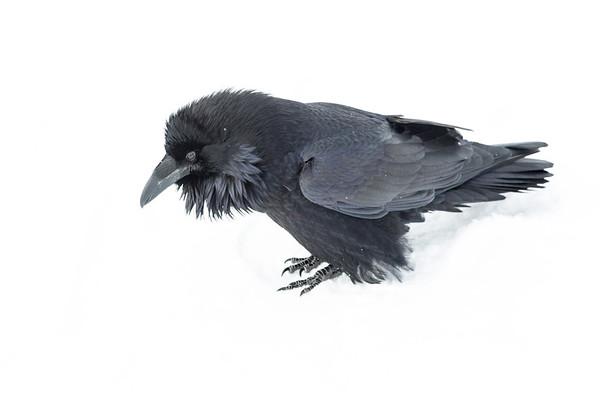 Raven in snow. Beak closed.