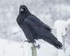 Raven on railng post of railway bridge over Store Creek.