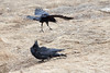 Crows and Ravens often do not get along. Here a Raven (on ground) is repeatedly attacked/mobbed by a group of three or four crows who fly at the raven. The raven sometimes jumps up to attempt to catch the crows.