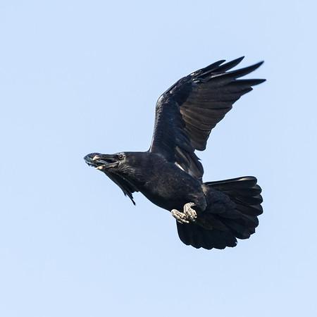 Raven in flight, wings bent, beak open.