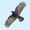 Crow overhead, wings out.