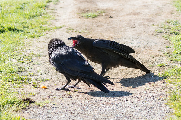 Adult raven turns towards juvenile screaming for food.
