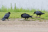 Two juvenile ravens watch an adult raven eat.