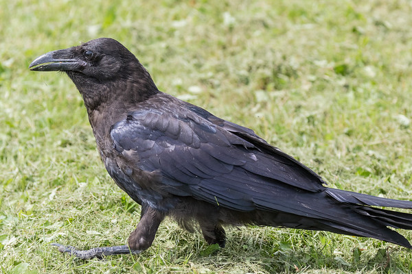 Juvenile raven in the grass, end of tail out of frame, beak slightly open, one foot lifted slightly.