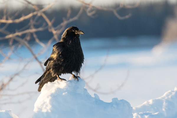 Timid raven on snow on a quiet Saturday morning.