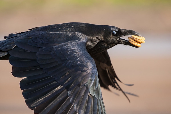 Raven flying, two cookies in beak, nictating membrame closed over eye. Wings down.