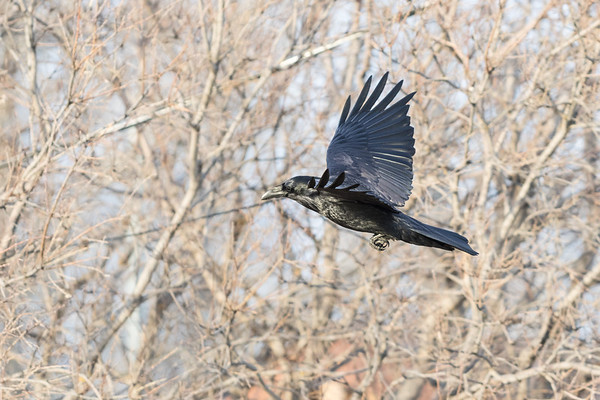 Raven in flight, wings up