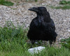 Raven standing by a piece of lard on the ground.