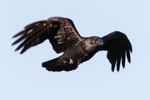 Raven in flight, wings bent, wings blurry.
