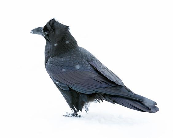 Raven along First STreet in Moosonee.