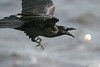 Raven chasing an egg that dropped from its beak 2004 October 23.