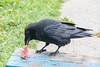 Raven enjoying a small steak.