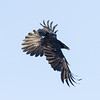 Raven in flight. Turning, tail spread wide, wings out, tips up.
