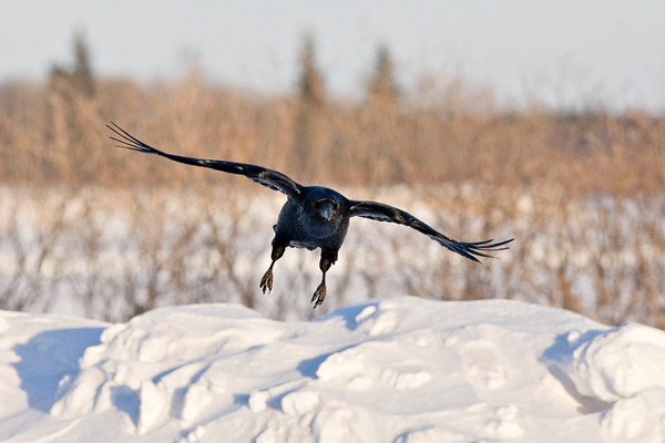 Raven coming in to land, feet down, wings outstretched, crop 2568x1712