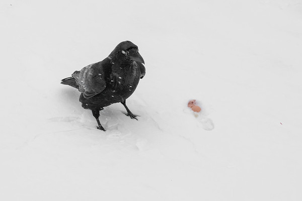 Raven with nictating membrane over eye in light snow.
