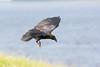 Juvenile raven coming to land. Feet down.