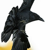 Common raven. wing tips out of frame, feet down, overhead.