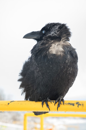 Raven on railing at public docks site. Nictating membrane almost closed.