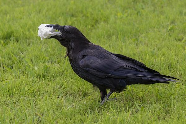 Raven walking with a piece of lard in beak.