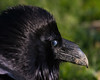 Headshot of Raven with nictating membrane over eye.