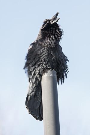 Raven sitting on vent stack croaking.