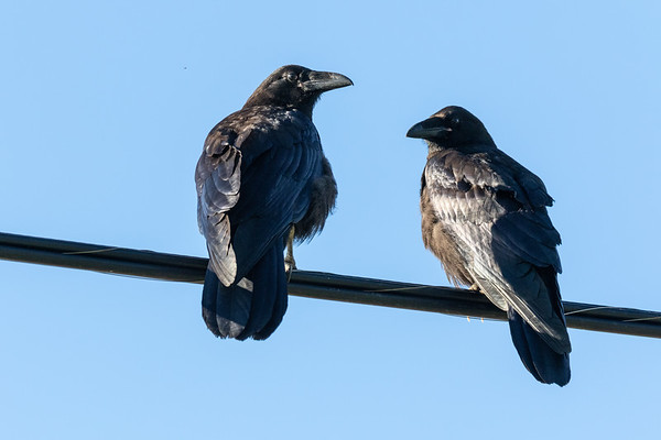 Two ravens on cable TV cable.