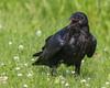 Juvenile raven with break open.