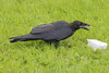 Juvenile raven eating lard.