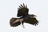 Juvenile raven in flight, feet down, beak open showing pink mouth.