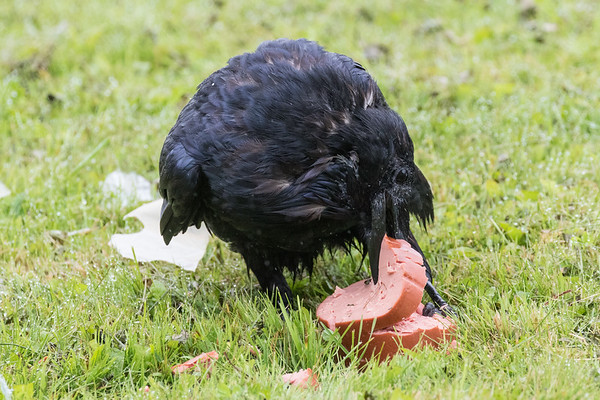 On a rainy day a raven starts to consume a piece of bologna.