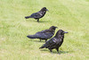 Three ravens, centre one juvenile, in the grass.