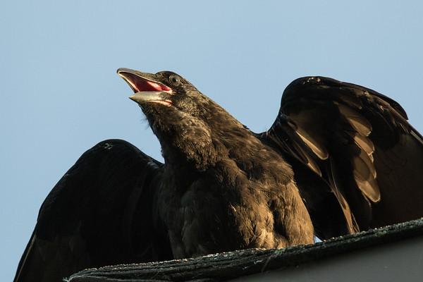 Juvenile raven on roof, beak open, spreading wings.
