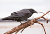 Raven perched on part of a cut down tree along the banks of the Moose River at Moosonee. Part of five shot sequence, Raven grabs a twig in beak and pulls and twists it and then throws it on the ground.