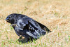 Raven on the ground, scratching, one foot in the air.
