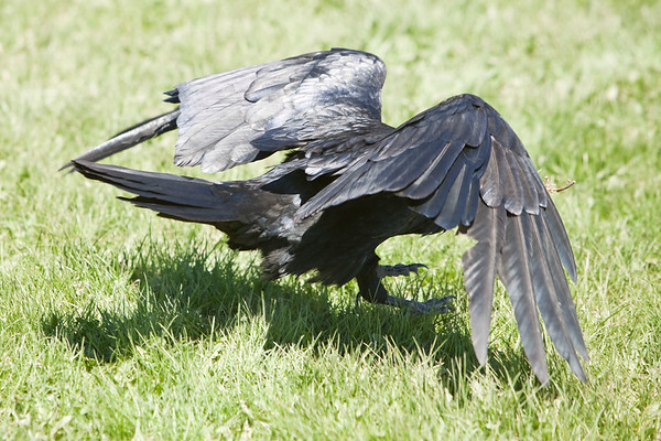 Raven taking off from grass, view from bird's right rear.