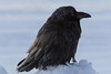 Frosted raven along the river bank before sunrise.