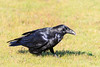 Raven in the grass. Nictating membrane partially covering eye.