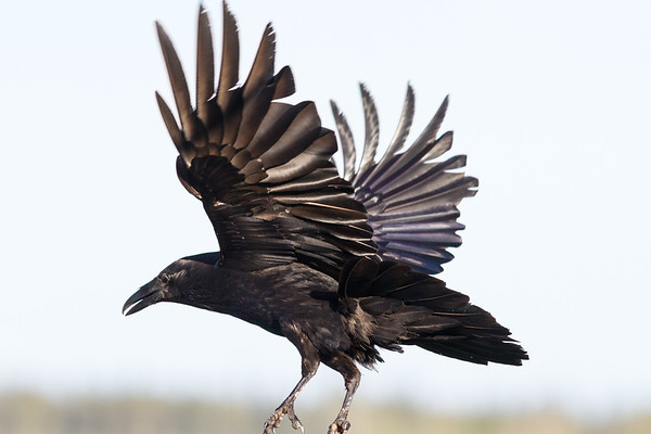 Raven in flight. Feet out of frame, landing, wings up.