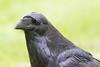 Headshot of Raven.