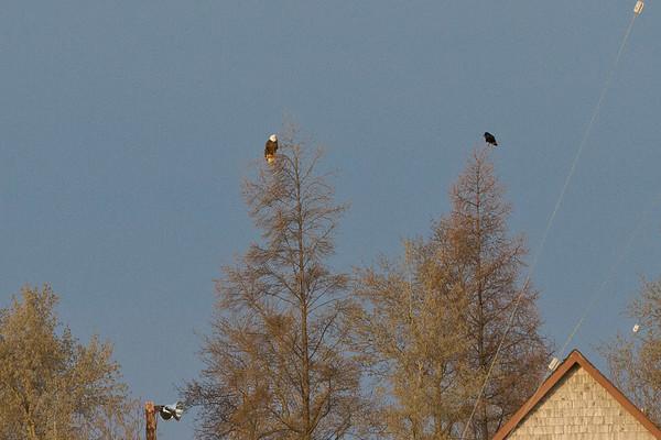 Bald eagle and raven in adjacent trees