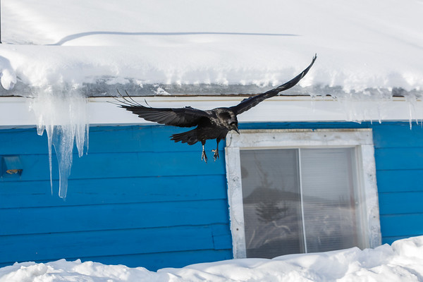 Raven coming to land on snow bank.