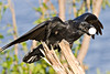 Raven on a small stump, egg in mouth, wings partially outstretched.
