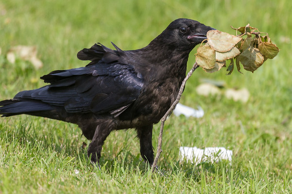 Juvenile raven tossing around a twig with leaves.