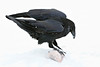 Raven standing on piece of meat, snow falling.