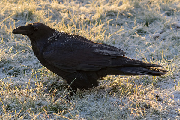 Frosted raven on a snowy lawn.